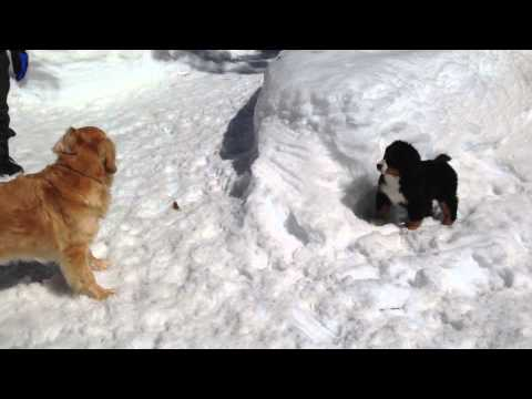 Bernese Mountain Dog puppy & Golden Retriever are playing in the snow