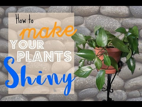 How to have Healthy & Shiny House Plants