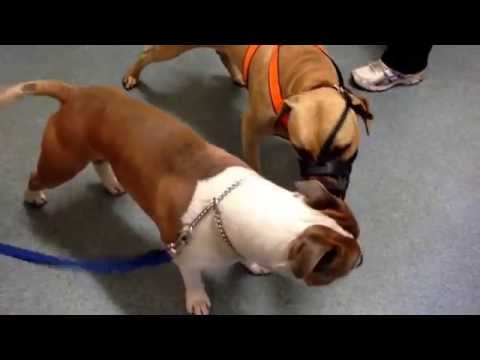 Inter male dog aggression problem and its treatment
