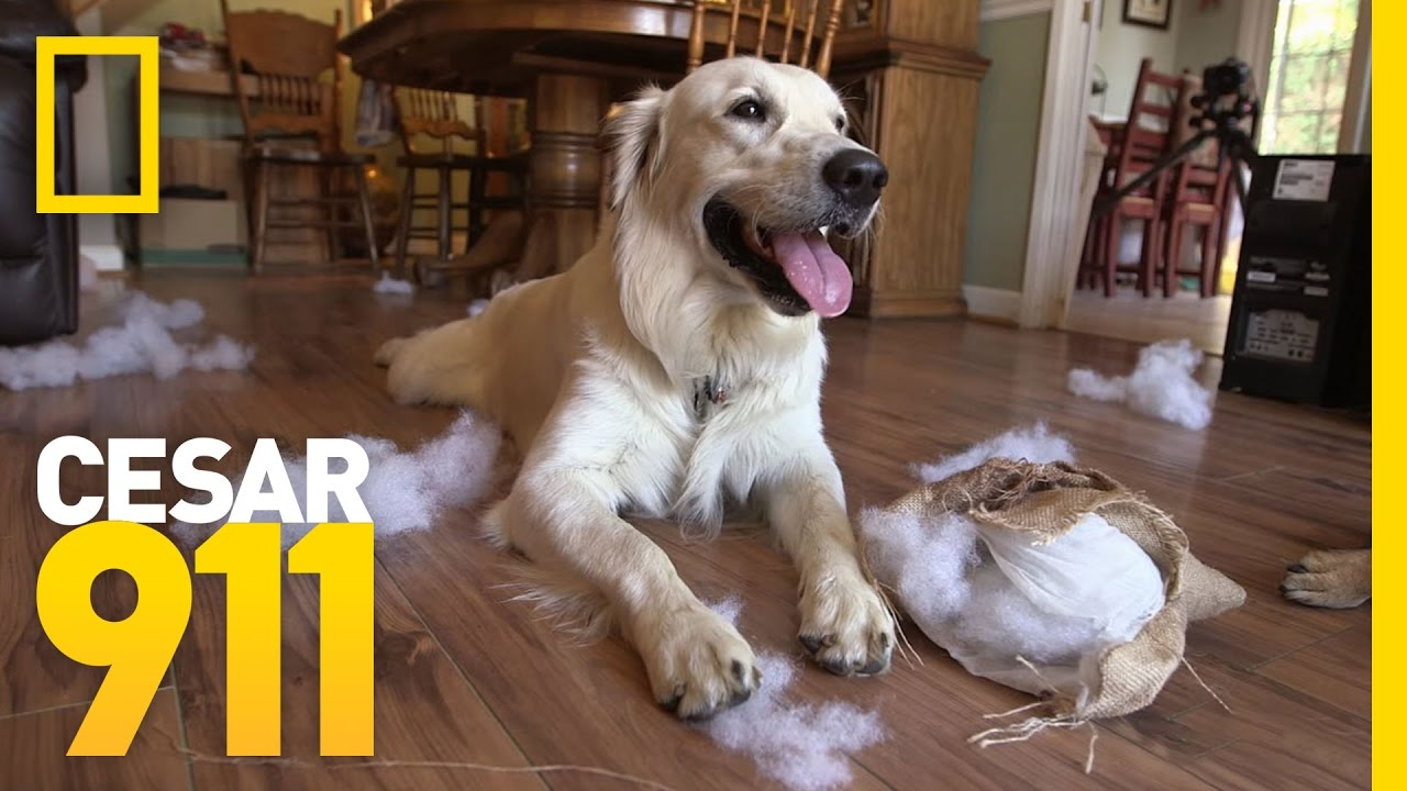 Why Does My Dog Have Separation Anxiety? | Cesar 911