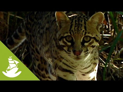 The ocelot and its sense of smell
