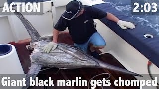 Download GIANT BLACK MARLIN RAVAGED BY TIGER SHARKS! Video
