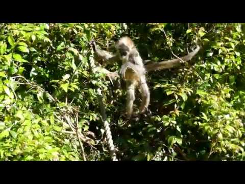 Spider Monkeys at Auckland Zoo