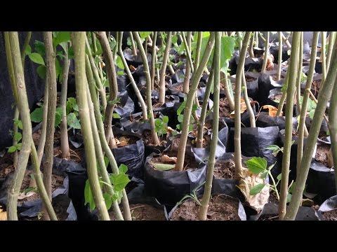 Planting trees along the Pamplonita River