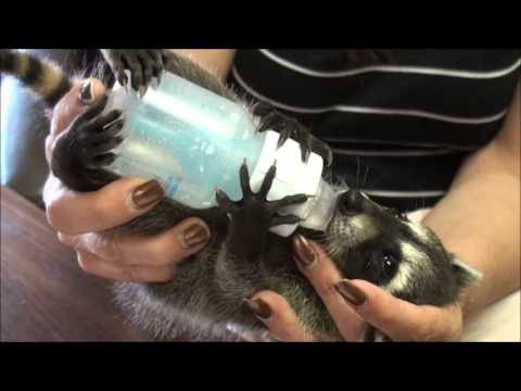 Baby Raccoons Being Rehabilitated