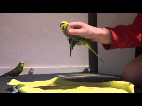 How to get rid of mites on budgies