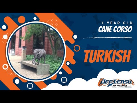 1-Year Old Cane Corso, Turkish! Cane Corso Dog Trainers | Cane Corso Off Leash K9