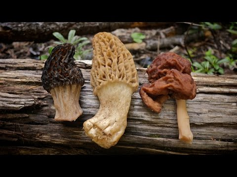 Morel Mushrooms 101: How to safely locate and harvest morels