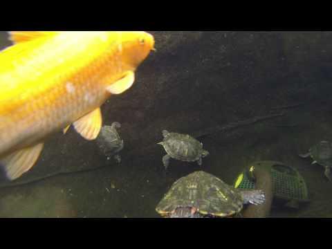Turtle and Koi Pond