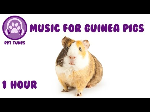 Music for Guinea Pigs - Relaxing Music for Guinea Pigs!