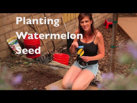 How To Grow Watermelon-E02- Watermelon First Time - How to plant watermelon seeds