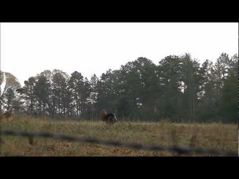 Turkeys Gobble - North Carolina Turkey Scouting