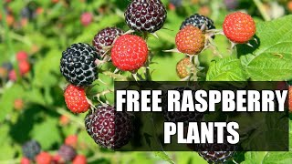 FREE RASBERRY PLANTS (from existing plants) with help from my animals