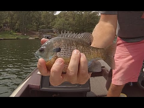 Bream Fishing With Crickets