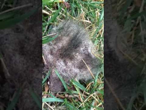 Picking up dog poop & found THIS!! Chia diarrhea!
