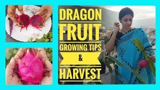 Dragon fruit growing tips\u0026 harvest/డ్రాగన్ ఫ్రూట్ని ఇంట్లోనే సులువుగా పండించవచ్చు #madgardener #tips