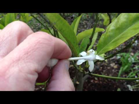 How to Get Better Yield | More Fruit from your Orange Tree - Pollinate by hand