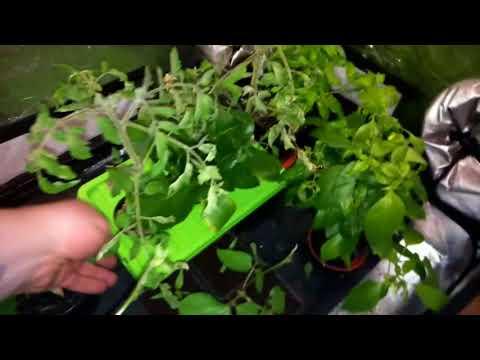 New COB driverless led grow light, indoor veg garden.