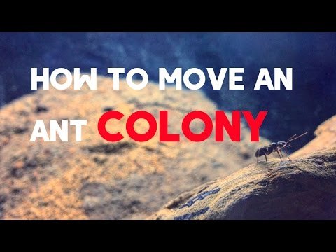 How To Move An Ant Colony + Trap Jaw Colony Update #2