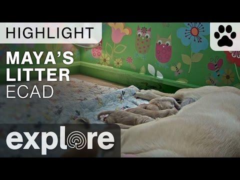Maya's Litter - Live Cam Highlight