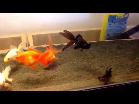 Goldfish Tank | Crystal Clear