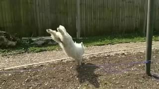 Dexters majestic leap