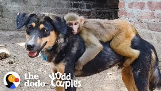 This Monkey Rides Her Dog BFF All Day Long  | The Dodo Odd Couples