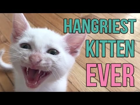 Hangriest Kitten EVER