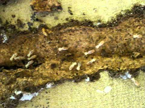 Termites entering through crack in concrete slab