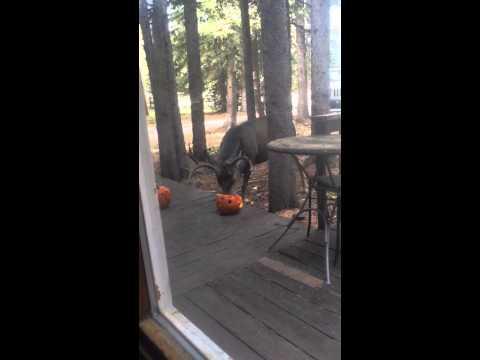 Deer eating our pumpkins