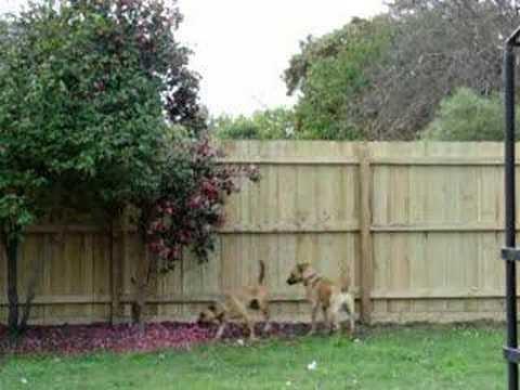 Tayra, the amazing fence jumping dog!
