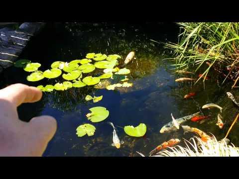 July 2015 Koi pond update
