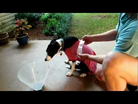 Dog Cone Alternative for Injured Dog-Lily the border collie