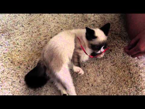 Grumpy Cat Playing!