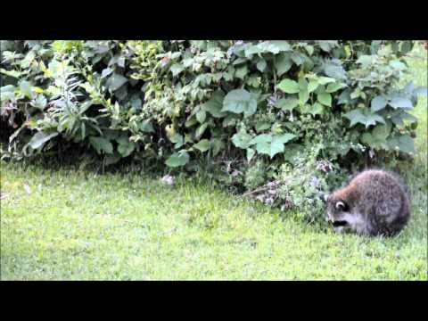 Raccoons with Rabies?