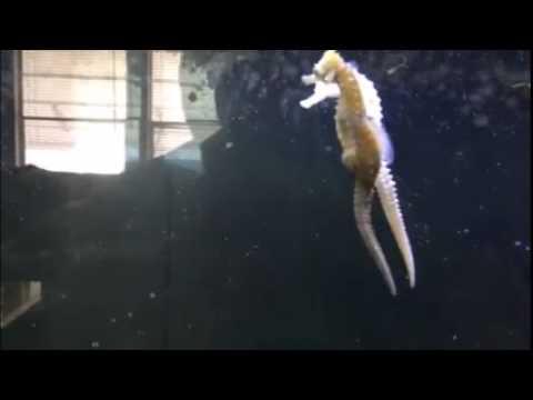 seahorses mating 2