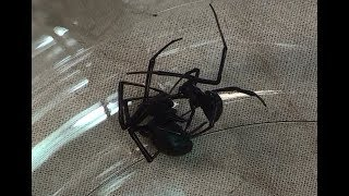 Download Black Widow Spider Mating; Black Widow vs. Black Widow Video
