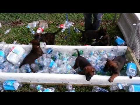 Belgian malinois knpv puppies, AKC registered, bottle imprinting.