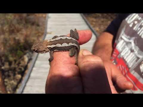 Herping: Wild Mountain Dragons
