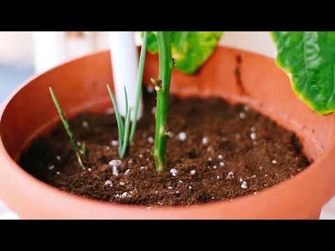 From Flower to Pimento Pepper (Trinidad & Tobago Seasoning)