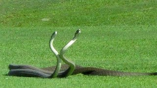 2 Black Mamba Snakes Fighting on Golf Course