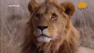 وليمة الأسود وثائقي اكثر من رائع جدا يستحق المتابعة من عالم الحيوانات المفترسة HD