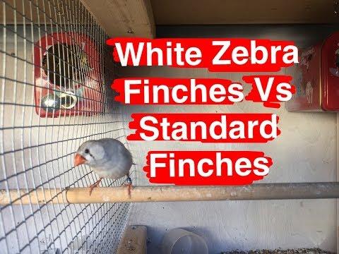 White Zebra Finch vs Standard Zebra Finch/Breeding Update