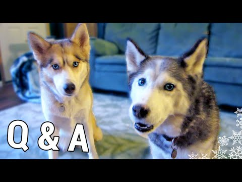 How long can Huskies be left alone?  Fan Friday #42