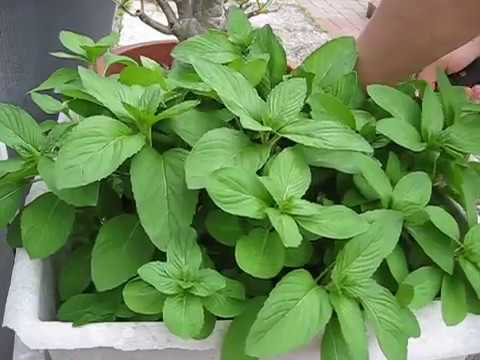 Herb Garden (RAU THOM XANH RON) Mints - Herb Harvesting - medium spicy mints