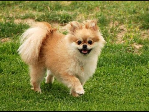 Pomeranian Hair Cut and Grooming