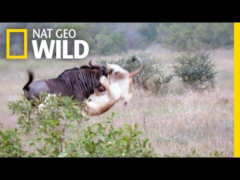 Two Lions vs. Bucking Wildebeest—Who Will Win? | Nat Geo Wild