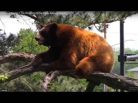 IS THIS BEAR  WILL JUMP OFF THE TREE?.