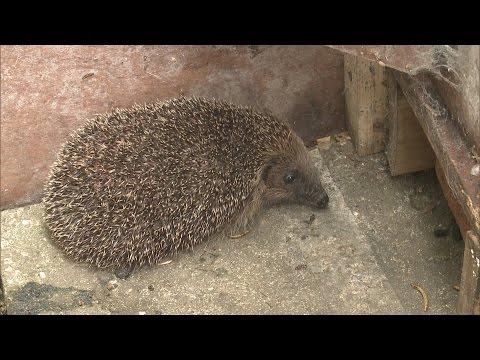 Endangered hedgehogs make themselves at home in UK gardens