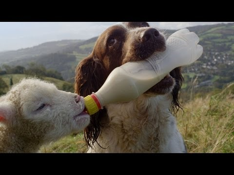 Guide Dogs Are Truly Amazing   Secret Life of Dogs   Earth